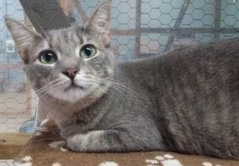 Domestic Shorthair/Domestic Shorthair Mix Cat for adoption in Metairie, Louisiana - Sweet Pea