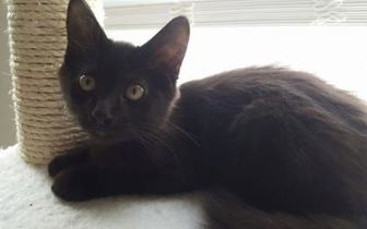 Domestic Longhair/Domestic Shorthair Mix Cat for adoption in Garland, Texas - Lando