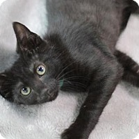 Adopt A Pet :: Chaucer K - Raleigh, NC
