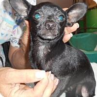 Adopt A Pet :: Victoria - Yucaipa, CA