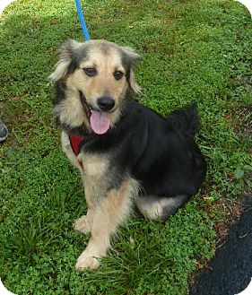 Collie Mix Dog for adoption in Ashland, Virginia - Cici-ADOPTED!!!