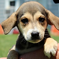 Beagle/Shepherd (Unknown Type) Mix Puppy for adoption in Southbury, Connecticut - Bugle ~ meet me!