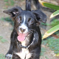 Terrier (Unknown Type, Small)/Spaniel (Unknown Type) Mix Puppy for adoption in los Angeles, California - Nemo