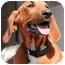Photo 1 - Redbone Coonhound Puppy for adoption in El Segundo, California - Bonnie Boo