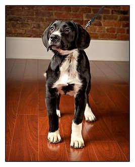 Labrador Retriever/Cocker Spaniel Mix Dog for adoption in Owensboro, Kentucky - Oscar