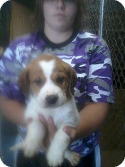 Beagle/Sheltie, Shetland Sheepdog Mix Puppy for adoption in stanwood, Michigan - Jasmine