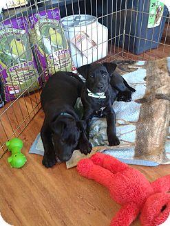 Labrador Retriever/Jack Russell Terrier Mix Puppy for adoption in Woodstock, Ontario - Ben