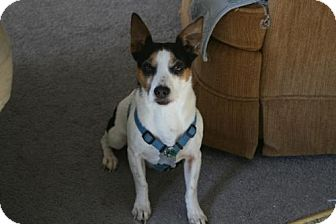 Jack Russell Terrier/Rat Terrier Mix Dog for adoption in Omaha, Nebraska - Max