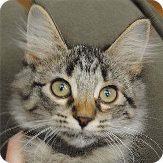 Domestic Longhair Kitten for adoption in Weatherford, Texas - Lily