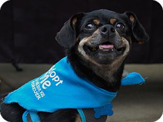 Pug/Dachshund Mix Dog for adoption in Charlotte, North Carolina - Barney