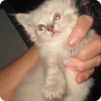 Adopt A Pet :: Percival - Dallas, TX