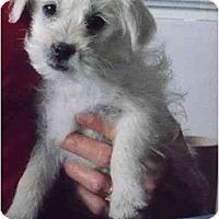 Adopt A Pet :: Cha Cha - Albuquerque, NM