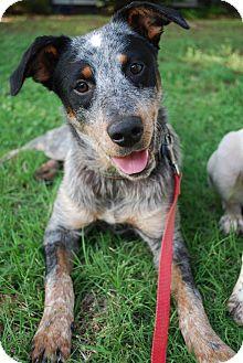 Blue Heeler Dog for adoption in Parker, Colorado - Echo