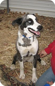 Catahoula Leopard Dog Mix Dog for adoption in Jemez Springs, New Mexico - Kara