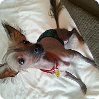 Adopt A Pet :: Dracula - Brattleboro, VT