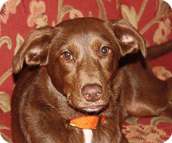 Labrador Retriever Mix Puppy for adoption in kennebunkport, Maine - Sugar - in Maine