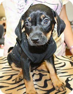 Feist/Catahoula Leopard Dog Mix Puppy for adoption in Cottageville, West Virginia - Widget