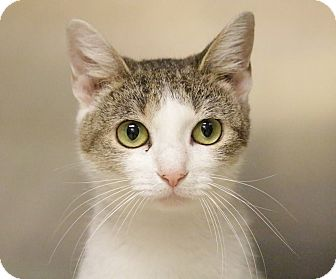 Domestic Shorthair Cat for adoption in Windsor, Virginia - Theresa