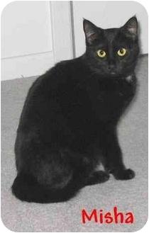 Domestic Shorthair Cat for adoption in AUSTIN, Texas - Misha