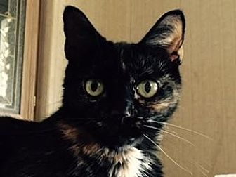 Domestic Shorthair Cat for adoption in Sarasota, Florida - Pepper