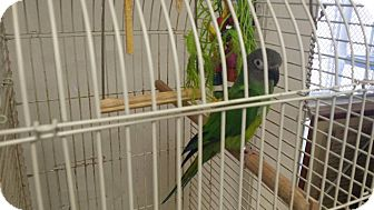 Parakeet - Other for adoption in Middletown, New York - parakeets