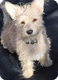 Terrier (Unknown Type, Small)/Westie, West Highland White Terrier Mix Dog for adoption in Yuba City, California - Tucker