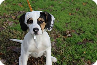 Spaniel (Unknown Type) Mix Puppy for adoption in Conway, Arkansas - Piper