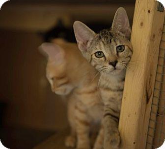 Domestic Shorthair Kitten for adoption in Schertz, Texas - Pebbles TG