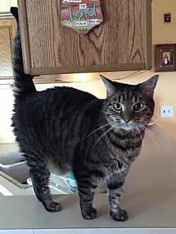 Domestic Shorthair Cat for adoption in Trexlertown, Pennsylvania - Hudson and Xena*