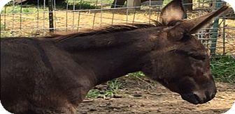 Donkey/Mule/Burro/Hinny Mix for adoption in Malvern, Iowa - Truffels