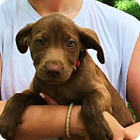 Adopt A Pet :: Anderson - the best puppy - Stamford, CT