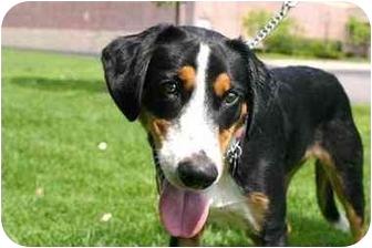 Collie/Hound (Unknown Type) Mix Dog for adoption in Northville, Michigan - Teddy