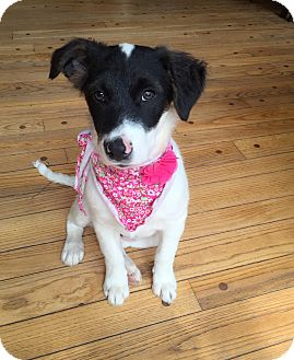 Border Collie/Spaniel (Unknown Type) Mix Dog for adoption in Bedford Hills, New York - Gem