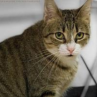 Domestic Shorthair Cat for adoption in Houston, Texas - KIKI