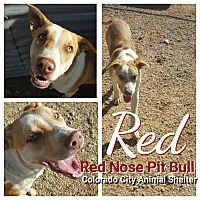 Pit Bull Terrier Mix Dog for adoption in Colorado City, Texas - Red