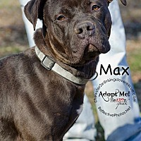 American Staffordshire Terrier/American Staffordshire Terrier Mix Dog for adoption in Bedford, New York - Max