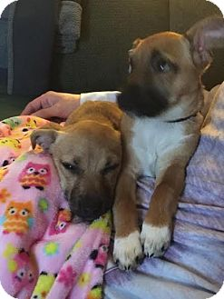 Chihuahua/Dachshund Mix Puppy for adoption in Columbus, Ohio - Angelic