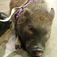 Adopt A Pet :: Arnold Ziffel - Columbus, OH