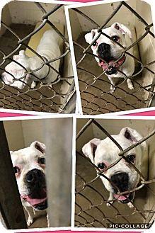 Boxer Dog for adoption in Cheboygan, Michigan - DAISY