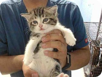 Domestic Mediumhair Kitten for adoption in San Bernardino, California - RESCUE ONLY