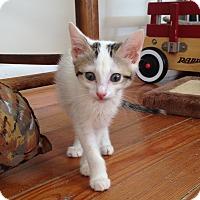 Domestic Shorthair Kitten for adoption in Marietta, Georgia - Eris