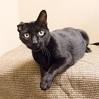 Adopt A Pet :: Van Gogh - Chicago, IL