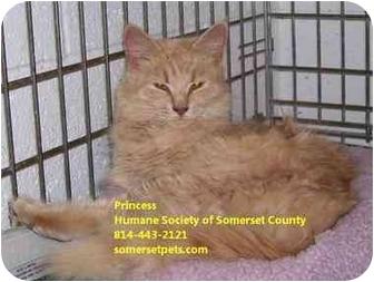 Domestic Longhair Kitten for adoption in Somerset, Pennsylvania - Princess