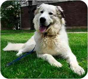 Great Pyrenees Mix Puppy for adoption in Guelph, Ontario - Digger