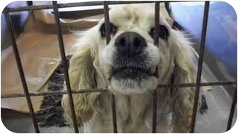 Cocker Spaniel Dog for adoption in McIntosh, New Mexico - Are you missing me?
