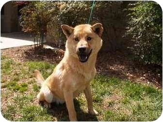 Chow Chow Mix Dog for adoption in El Cajon, California - Tommy