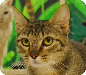 Domestic Shorthair Cat for adoption in Searcy, Arkansas - C.C.