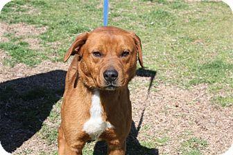 Labrador Retriever/Chow Chow Mix Dog for adoption in Conway, Arkansas - Spencer