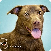 Adopt A Pet :: Amber - Phoenix, AZ