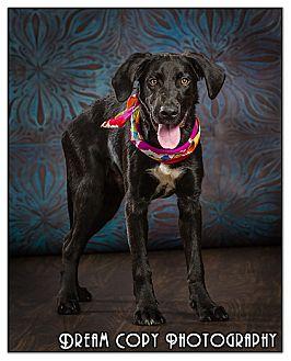 Labrador Retriever Mix Puppy for adoption in Owensboro, Kentucky - Cain -DRD Program